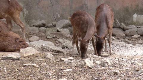 philippine deer Stock Video Footage