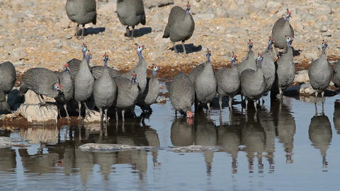 Helmeted guineafowls Live Action