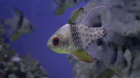pajama cardinal fish closeup Stock Video Footage