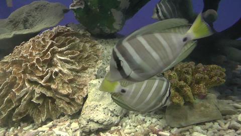 sailfin tang Footage