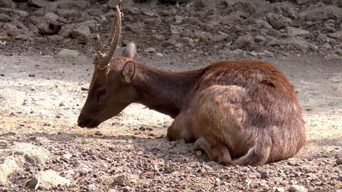 philippine deer on ground Footage