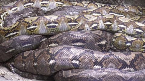 python resting Footage