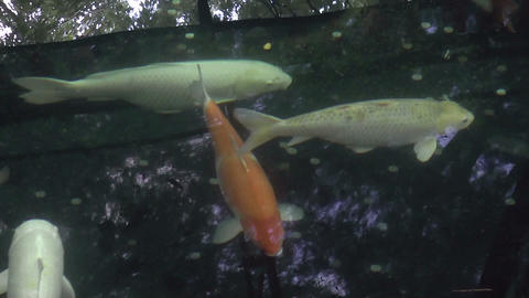 red and white koi fish Stock Video Footage
