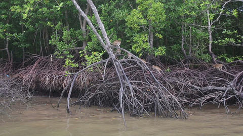 monkey climbs on the mangrove trees Footage