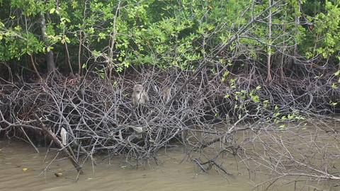 monkey grab food on the mangrove trees Live Action
