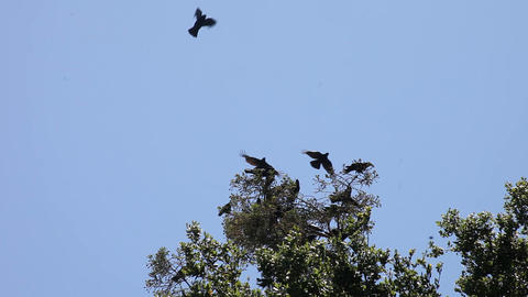 noisy crows in a tree Stock Video Footage