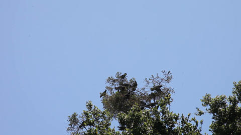 Noisy Crows In A Tree stock footage