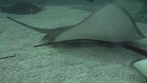 Stingrays stock footage