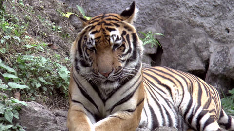 tiger resting zoom out Stock Video Footage