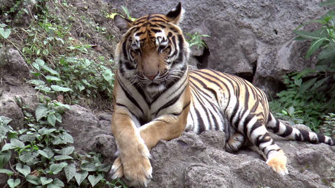 Tiger Resting Zoom Out stock footage