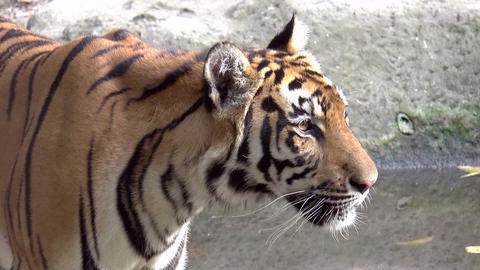 tiger close up walking Footage