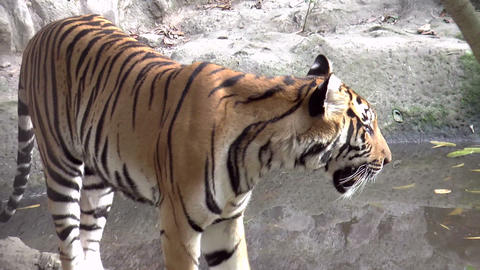 tiger close up walking Stock Video Footage