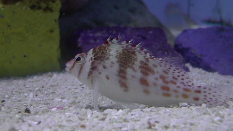 spotted hawkfish Stock Video Footage