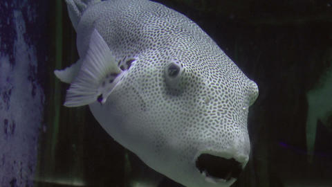 star puffer fish Stock Video Footage
