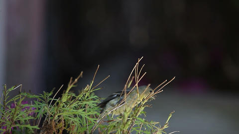 goldfinch feeds on plant Stock Video Footage