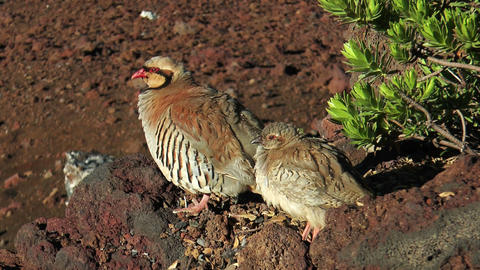 chukar hen with young chicken Stock Video Footage