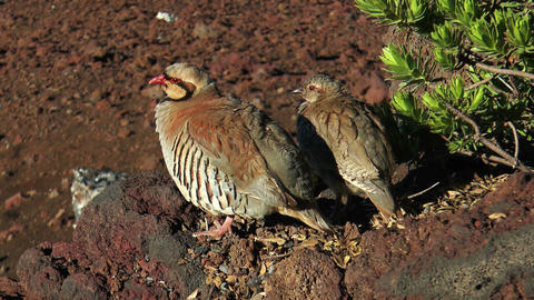 chukar hen with young chicken Footage
