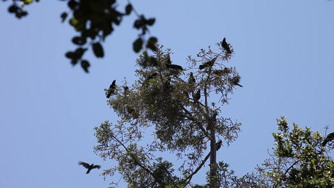 crows on the top of a tree Stock Video Footage