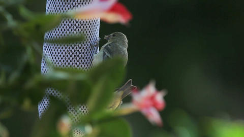 young goldfinch begs for food Stock Video Footage