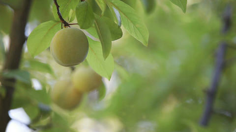 Plums On A Tree stock footage