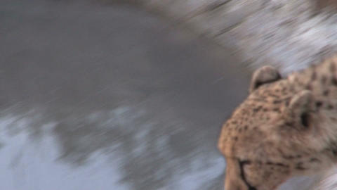 Cheetah drinking at pond Stock Video Footage