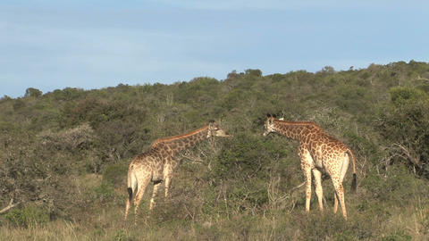 Giraffes eating Footage