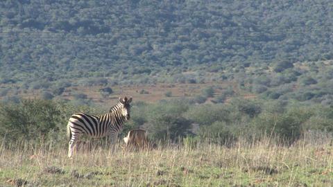 Zebra watch at camera Stock Video Footage
