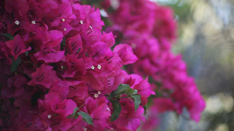 bougainvillea in full bloom 영상물