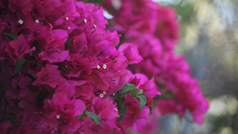 bougainvillea in full bloom Stock Video Footage