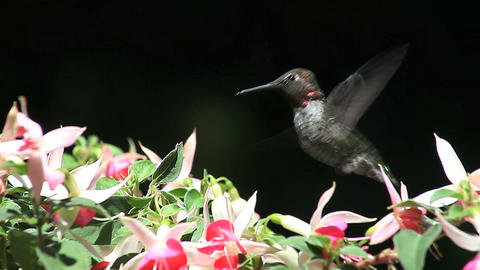 hummingbird in fuchsia flowers Footage