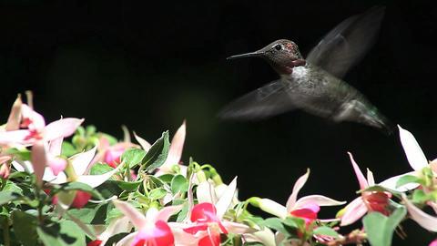 hummingbird in fuchsia flowers Stock Video Footage