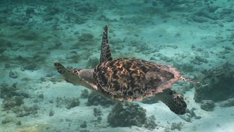 Big sea turtle Footage