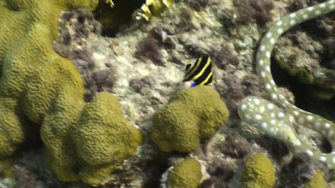 Caribbean snake eel and a juvenile Angelfish Stock Video Footage