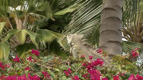 Iguana close wide Stock Video Footage