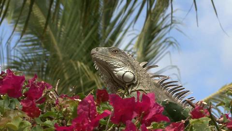 Iguana zoom out Footage