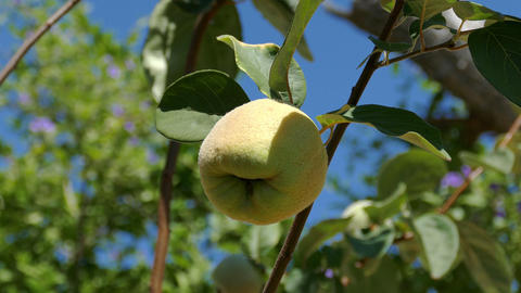 Quince Fruit on the Branch Tree Footage