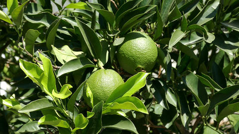 Unripe Green Oranges on the Branch Tree Footage