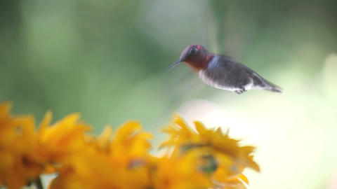 hummingbird in rudbeckia flowers Stock Video Footage