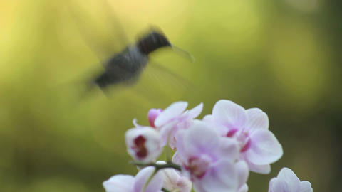 hummingbird with orchids Stock Video Footage