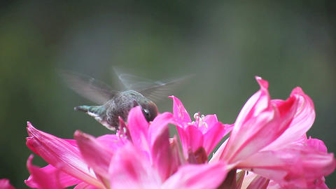 hummingbird close up in lilies Stock Video Footage