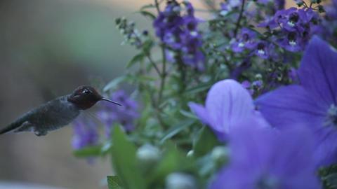 hummingbird in blue flowers Stock Video Footage