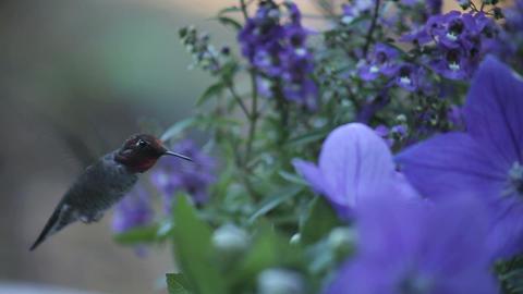 hummingbird in blue flowers Footage