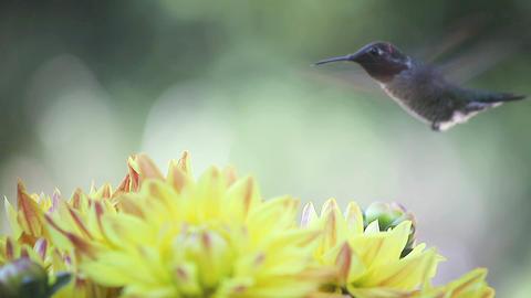 hummingbird in yellow dahlias Stock Video Footage