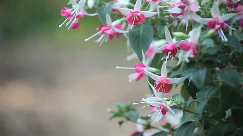 pink and white fuchsias Stock Video Footage