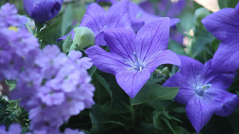 blue flowers Stock Video Footage