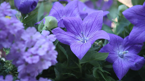 Blue Flowers stock footage