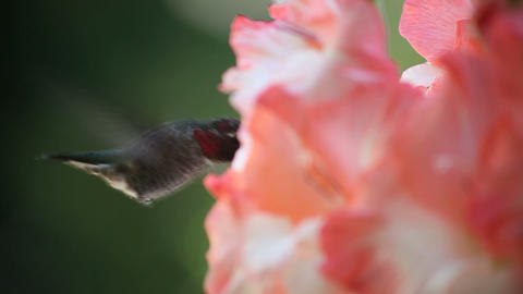 hummingbird close up with gladiola flowers Stock Video Footage