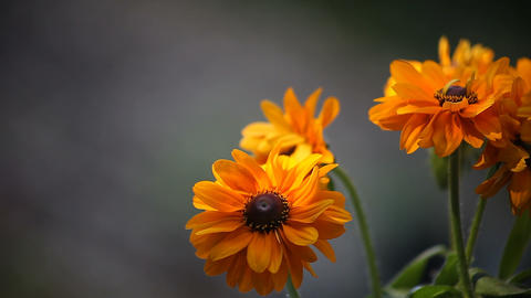 black eyed susan flowers Footage