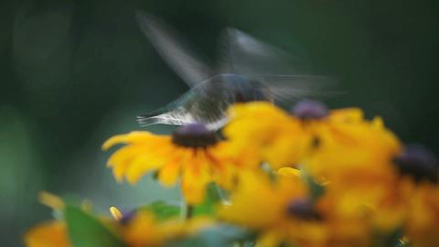 hummingbird in black eyed susans Stock Video Footage