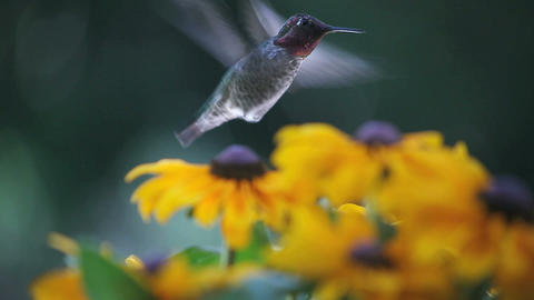hummingbird in black eyed susans Footage